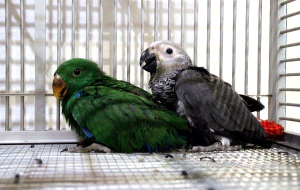 I během semináře bylo nutné dokrmovat některá papouščí mláďata. Na snímku sameček eklekta různobarvého socializovaný s mládětem žaka velkého (Foto: Jan Potůček, Ararauna.cz)
