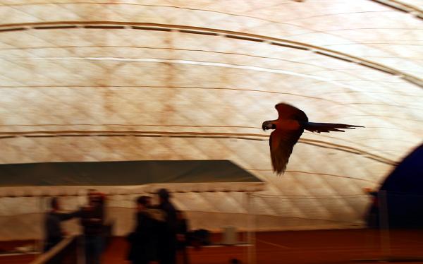 Letící ararauna (Foto: Milena Potůčková, Čoko-papoušek.cz)