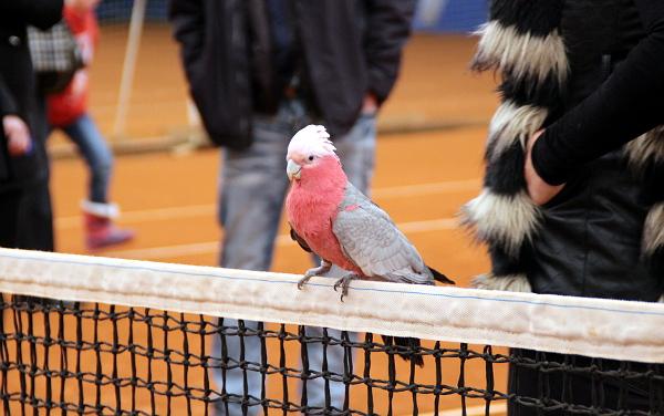 Kakadu růžový odpočívá na tenisové síti (Foto: Milena Potůčková, Čoko-papoušek.cz)