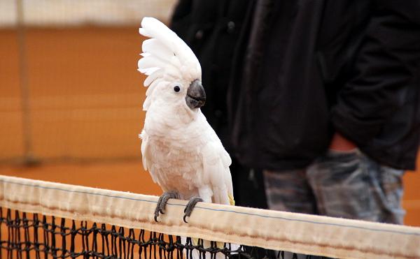 Kakadu bílý patří mezi největší papoušky, kteří pravidelně létají v tenisové hale Cibulka (Foto: Milena Potůčková, Čoko-papoušek.cz)