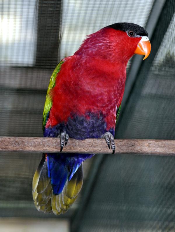 Lori zelenokřídlý (Lorius hypoinochrous) - Foto: Wikimedia commons