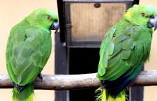 Papoušci používají stejně jako lidé různé dialekty. Potvrdil to výzkum amazoňanů žlutokrkých