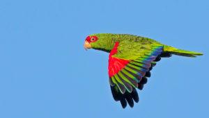 Amazoňan nádherný v letu