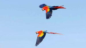 Ara arakanga volný let