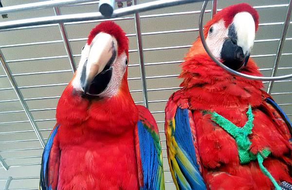 Šťastné shledání: samec arakangy Diego se samičkou Goldie krátce po návratu z nedobrovolného výletu (Foto: Václav Froněk)
