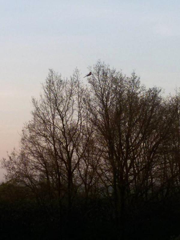 Pohled za milion: samec ary arakangy Diego nad ránem druhého dne, kdy uletěl, objeven u obce Brázdim (Foto: Václav Froněk)