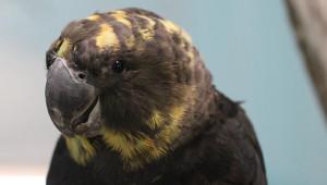 Kakadu hnědohlavý v ACTP