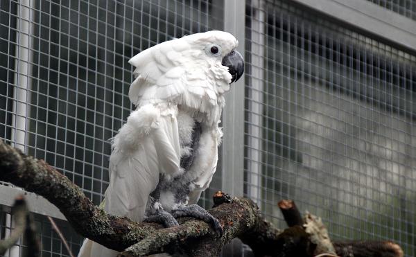 Další z kakaduů bílých, kterému se u původního majitele moc nedařilo (Foto: Jan Potůček, Ararauna.cz)