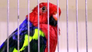 Papoušek karmínový