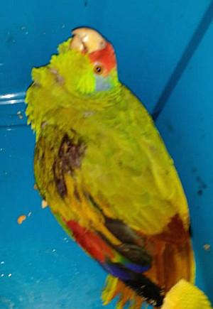 Tento v přírodě ohrožený amazoňan zelenolící byl nalezen postřelený 6. dubna 2016 v lokalitě Yorba Linda. O papouška se postaralo speciální centrum v La Mesa, ale nakonec musel být utracen, protože jeho křídlo bylo střelou naprosto rozdrceno. (Foto: SoCal Parrot)