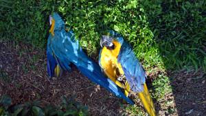 Zastřelené ararauny na Floridě