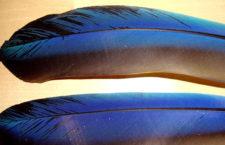 Černání peří u papoušků? Může jít o roztoče zápeřníky, ale spíše o špatnou výživu
