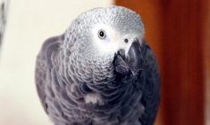 Spojené státy podpořily zařazení papouška žako do CITES I a jeho povinnou registraci