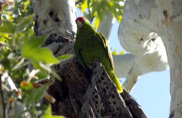 Samec amazoňana zelenolícího na stráži u hnízdní dutiny (Foto: Antonín Donát)