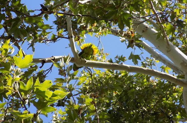 Rozčilená samice amazoňana zelenolícího nás vyháněla od hnízdního stromu (Foto: Antonín Donát)