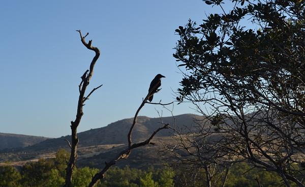 Další z obyvatel Irvine Parku: krkavec (Foto: Antonín Donát)