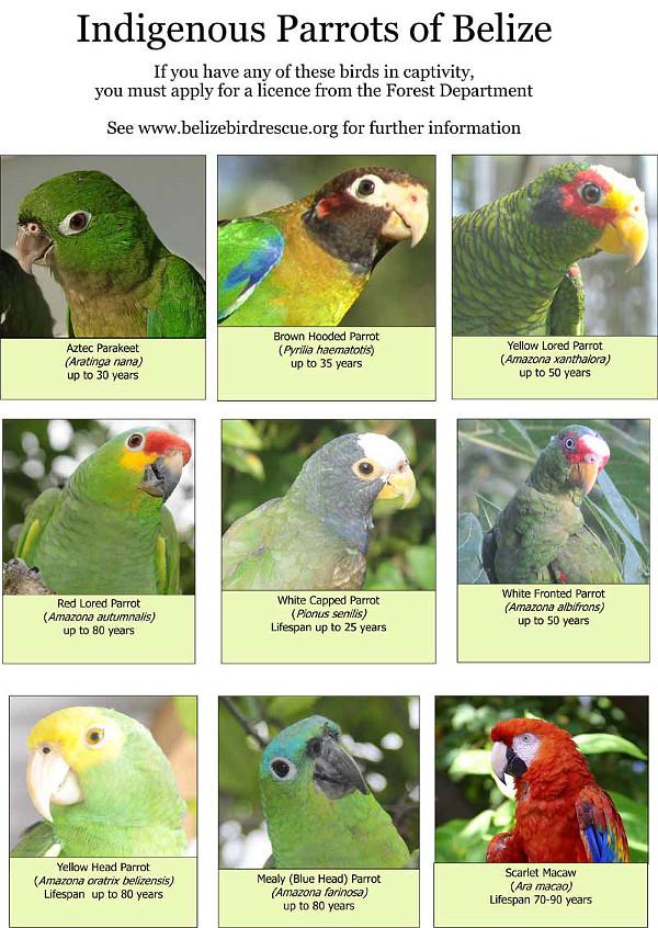 Přehled původních druhů papoušků v Belize, jichž se týká povinná registrace (Zdroj: Ambergriscaye.com/)
