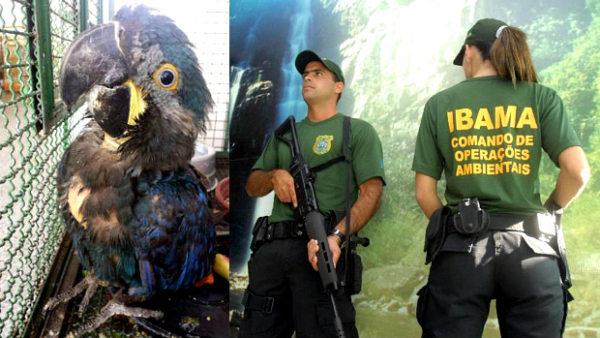 Operace Kobalt zachránila 870 pašovaných zvířat v Brazílii, včetně postřeleného ary kobaltového