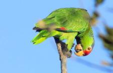 Výprava za divokými amazoňany zelenolícími do kalifornského Irvine parku