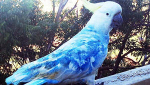 Modrý kakadu