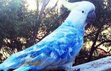 Modrý kakadu? Sydney po třech letech opět řeší otázku netypicky zbarvených papoušků