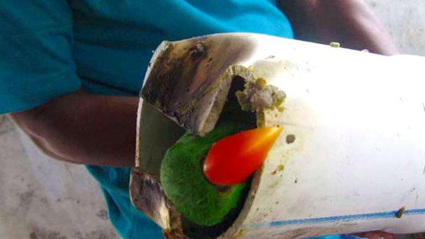 Policie na Severních Molukách zatkla čtyři pašeráky s 212 papoušky. Eklekty, kakaduy a lorii