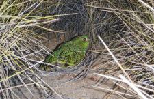 Domorodí strážci objevili ve Velké písečné poušti v Austrálii asi největší populaci papoušků nočních