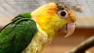 Amazónek bělobřichý