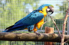 Ptačí mozek se počtem neuronů vyrovná primátům. Ara ararauna jich má více než makak