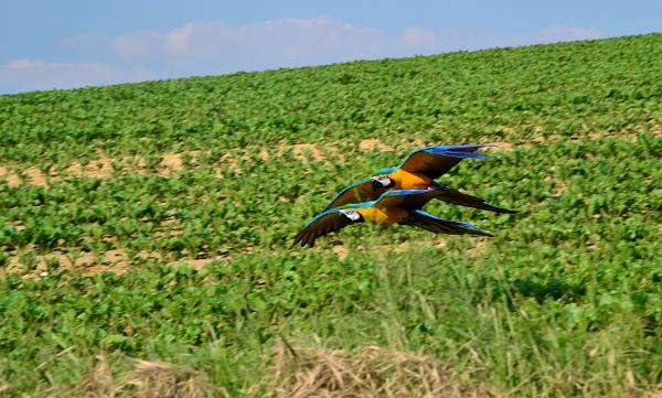 Letící pár arů araraun na srazu vyznavačů volného létání papoušků u Hlučína na Opavsku (Foto: Veronika Tomicová)
