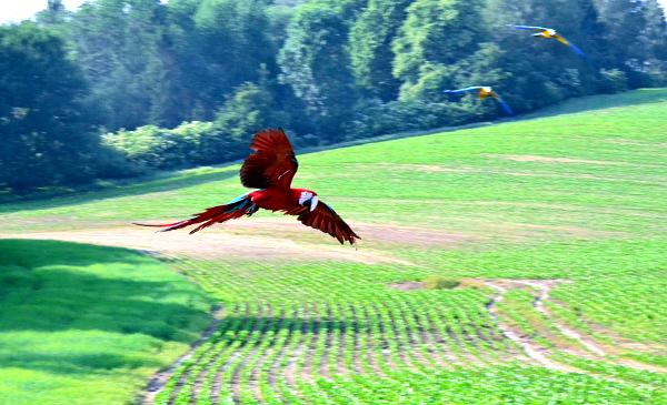 Ara zelenokřídlý byl největším papouškem na hlučínském srazu (Foto: Veronika Tomicová)