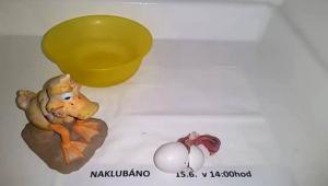 Líhnutí mláděte v inkubátoru