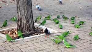Mníšci šedí mezi holuby