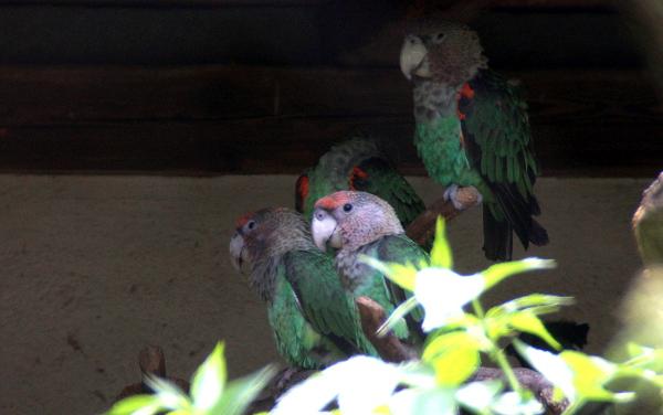 Papoušci šedohlaví západní se schovávají před poledním sluncem do stínu (Foto: Jan Potůček, Ararauna.cz)