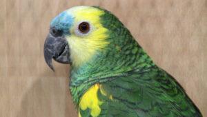 Amazoňan modročelý