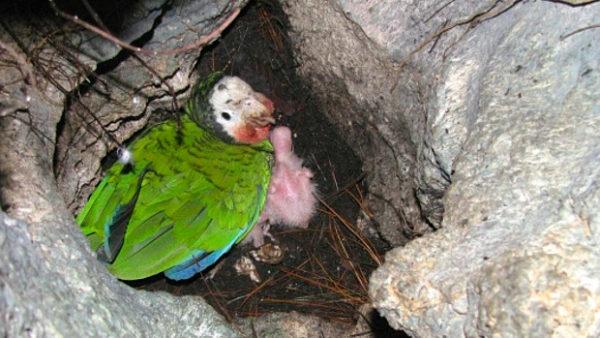 Bahamští amazoňani kubánští hnízdí v norách na zemi. Málem je vyhubily kočky