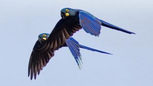 Ara kobaltový v letu