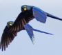Kolik stojí záchrana ohroženého druhu? U arů kobaltových vyšla na 3,66 milionu dolarů