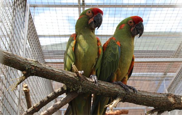 Pár arů červenouchých. V Bošovicích se mohou pochlubit dvěma páry těchto papoušků, oba si dovezli z Loro Parque. (Foto: Jan Potůček, Ararauna.cz)
