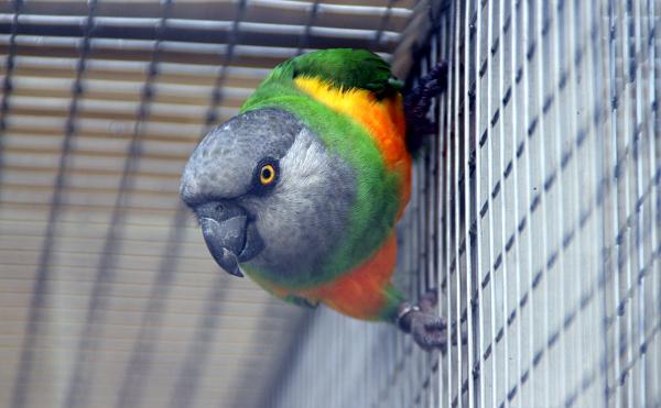 Jedním ze tří afrických druhů papoušků chovaných v Bošovicích je papoušek senegalský (Foto: Jan Potůček, Ararauna.cz)