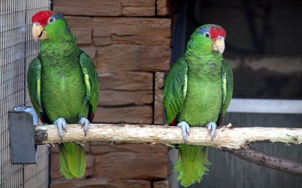 Nováčcci v bošovické zoo: amazoňané zelenolící (Foto: Jan Potůček, Ararauna.cz)