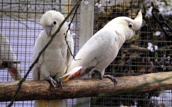 Kakaduové filipínští v plzeňské zoologické zahradě (Foto: Jan Potůček, Ararauna.cz)