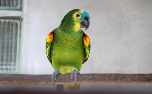 Dospělý amazoňan modročelý. Radek Miča se z amazoňanů specializuje právě na tento druh. (Foto: Jan Potůček, Ararauna.cz)