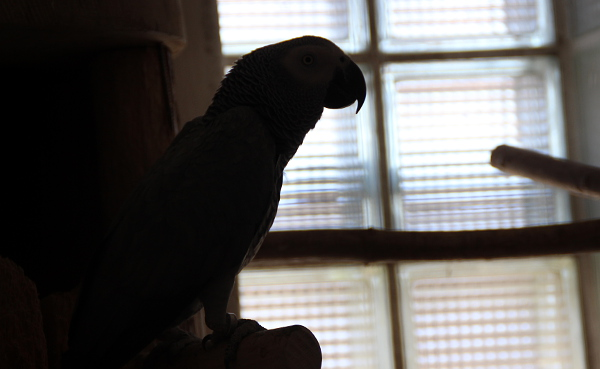 Zařazení žaků do CITES I se Radek Miča neobává, už dnes chová papoušky zapsané do první přílohy této mezinárodní úmluvy (Foto: Jan Potůček, Ararauna.cz)