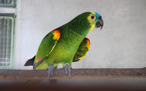 Zvědavý amazoňan modročelý (Foto: Jan Potůček, Ararauna.cz)