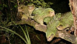 Rodinka kakapů sovích