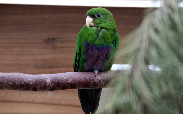 Vzácný papoušek modrobřichý. V Česku tento druh vlastní pouze dva chovatelé. (Foto: Jan Potůček, Ararauna.cz)