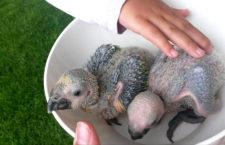 Proč brát mláďata papoušků rodičům, když to není třeba aneb pokus s nejistým výsledkem