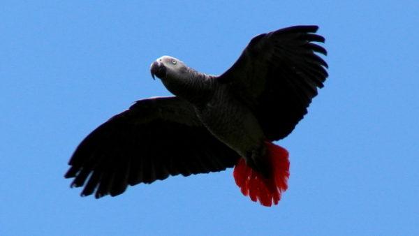 Přeřazení žaků do CITES I podporuje i World Parrot Trust, vyhlásil petici