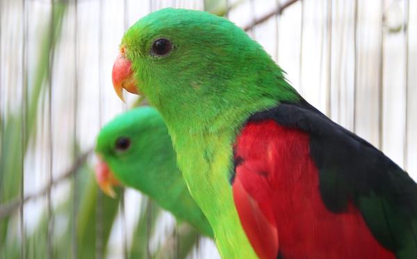Další zástupce středně velkých australských druhů, papoušek červenokřídlý (Foto: Jan Potůček, Ararauna.cz)